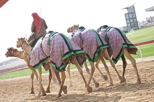 race working camel