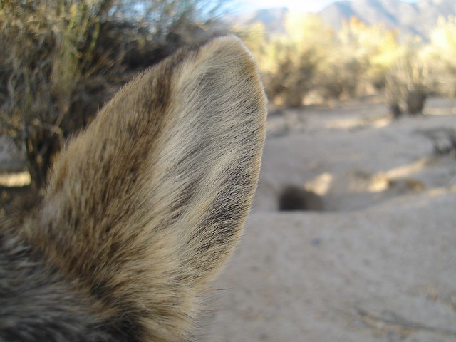 pygmy rabbit ear