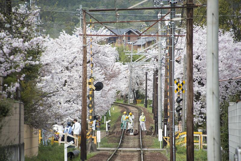 嵐電沿線桜のトンネル