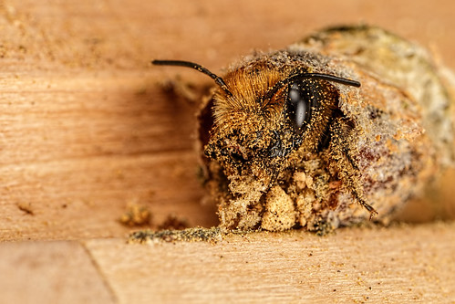 Hatching Female Red Mason Bee