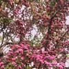 My gorgeous #hawthorne in full bloom #garden #spring #tree #vscocam