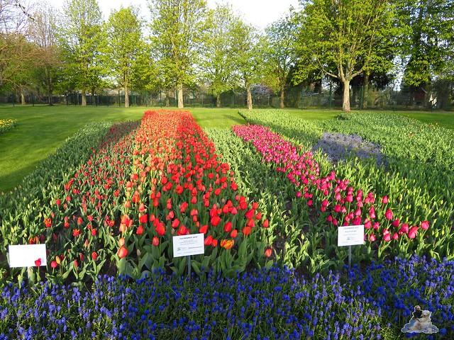 Britzer Garten Tulipan 22.04.2016  0115