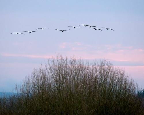 animal se sweden fåglar djur hornborgasjön grusgrus tranor trana västragötalandslän