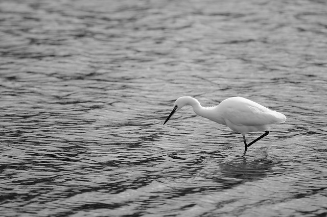 Little egret...