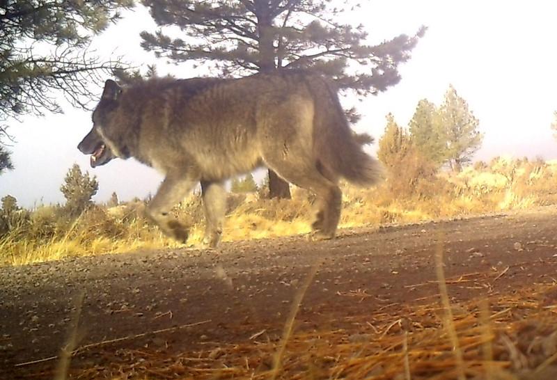 151208_Silver_Lake_wolf