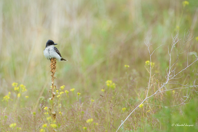 Eastern Kingbird-Tyrannus tyrannus- Tyran tritri