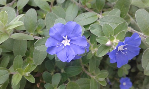 flowers blue plants white thailand vines groundcovers convolvulaceae