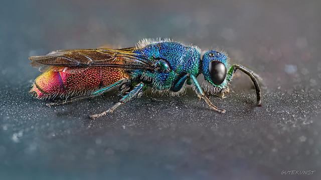 Fr, 2015-05-22 17:57 - Die Gemeine Goldwespe oder Feuer-Goldwespe (Chrysis ignita) ist auf jeden Fall eines meiner Lieblingstiere. Unglaublich schön. Ein wahres Wunder der Natur. Die Goldwespen sind extrem flink und sie zu fotografieren braucht viel Geduld und etwas Glück ;-) Die Goldwespen haben eine parasitische Lebensweise d.h. sie legen ihre Larve in die Brutzellen anderer Insekten z.B. der Mauerbiene ab