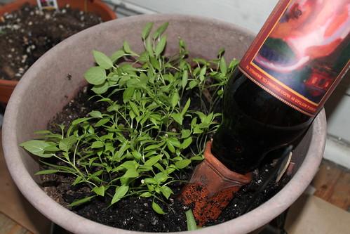 Christmas pepper plants
