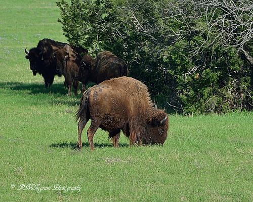shaggys nikonphotography americanbisonbisonbison rangeanimal buffaloamerican magnificentanimals bisonbisonold shaggyold comebackfromnearextinction animalsofoldwestfolklore