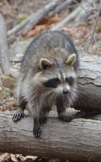 Raccoon Maryland 16036846c