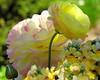 Persian Buttercup