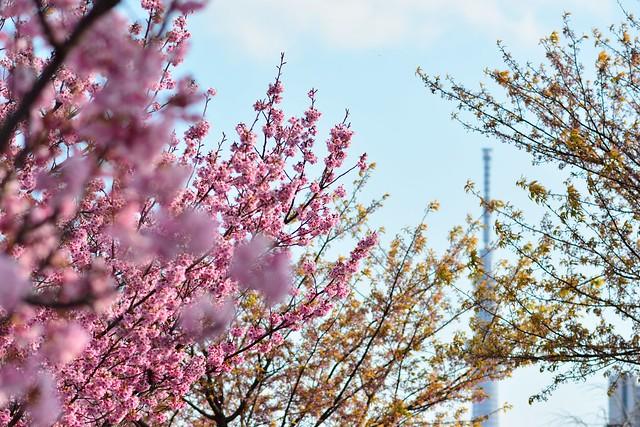 スカイツリーと陽光桜