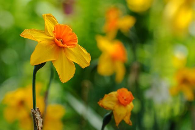 Genus Narcissus