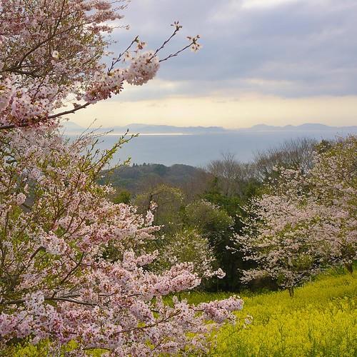 桜と菜の花と瀬戸内海。 #sakura #桜 #菜の花 #空 #海 #sky #sea #春 #spring