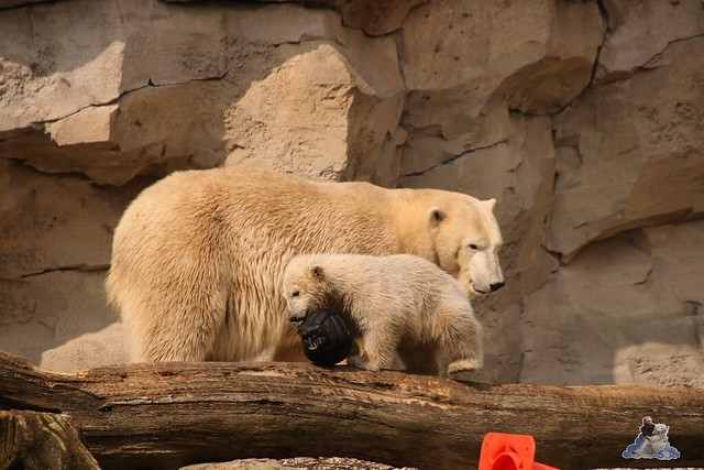 Eisbär Lili im Zoo am Meer Bremerhaven 09.04.2016 Teil 1  0150