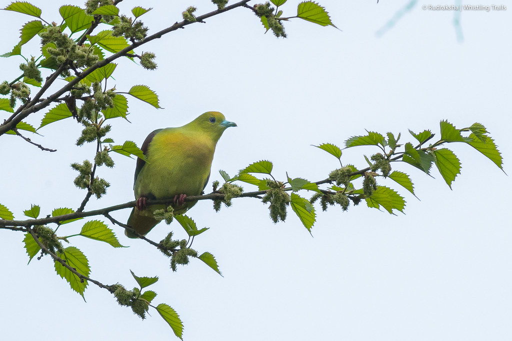 Wedge-tailed Green Pigeon