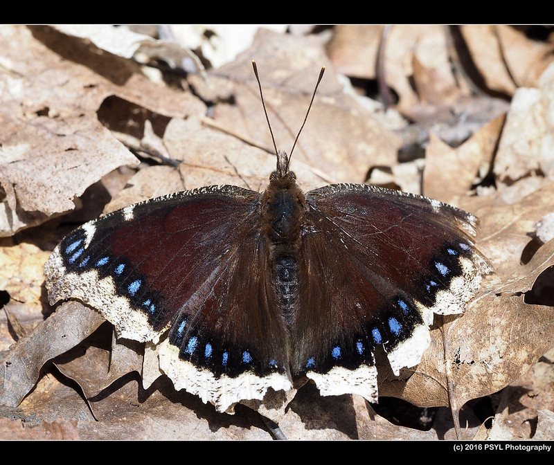 Mourning Cloak Butterfly (Nymphalis antiopa)