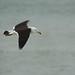 Band-tailed (Belcher's) Gull, Peru