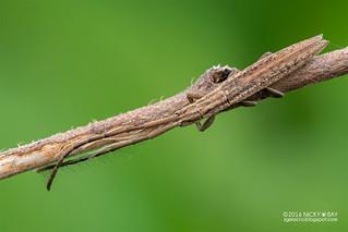 Longhorn beetle (Tetraglenes sp.) - DSC_1465