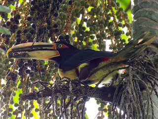 Toucan in Mindo