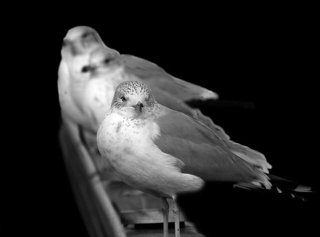 vg-gulls-3