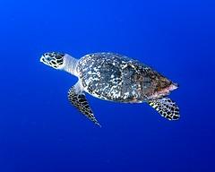 Hawksbill Sea Turtle 19 - Blackbird Caye - Belize 2016