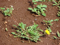 starr-070208-4376-Taraxacum_officinale-flowering_habit-Makawao-Maui