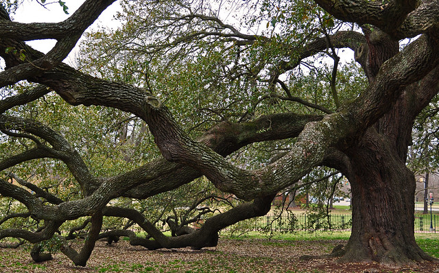 The Emancipation Oak (Quercus virginiana) (1)