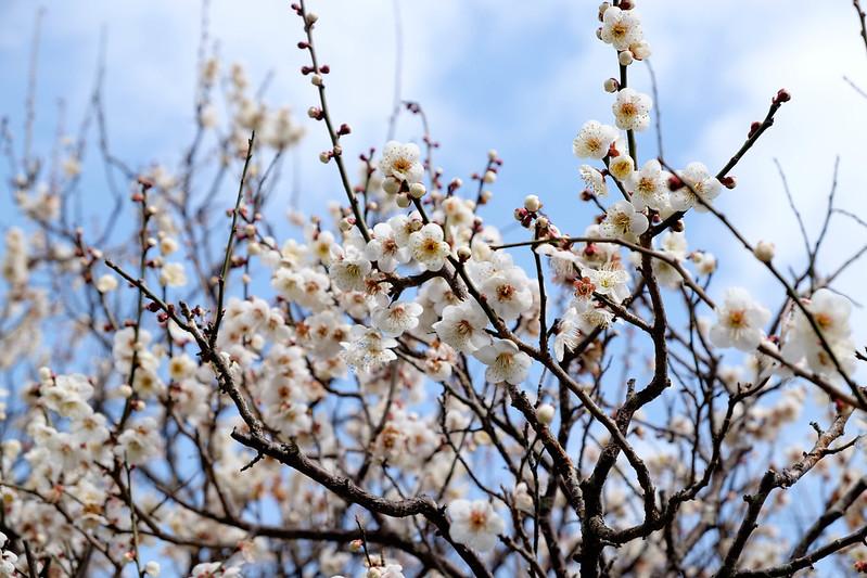 松島 円通院の梅