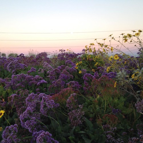 wildflowers at dawn. Roadside on another Dawn Patrol 🚴 ride to the office. Seen in Torrey Hills, really close to the house we were in 2003 2005. #sandiego #spring #lifebybike