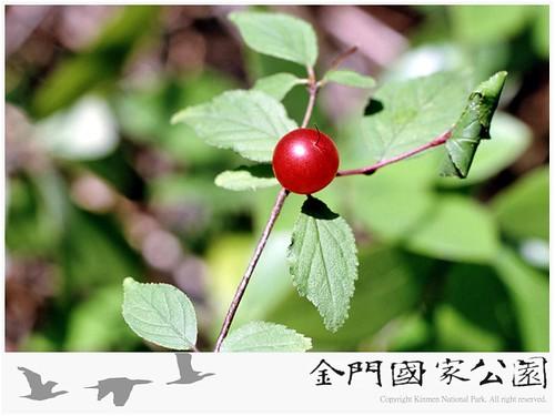 郁李-03