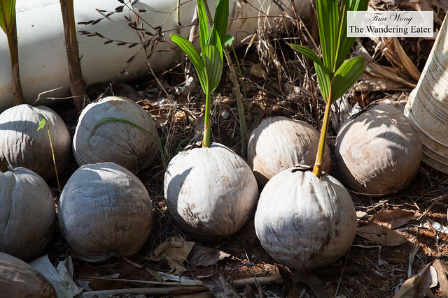 Coconuts sprouting