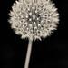 Dandelion by Penseroso
