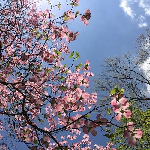 pink dogwood inniswoods