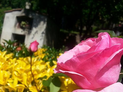 #green #flower #rose #plant # nature #garden #spring