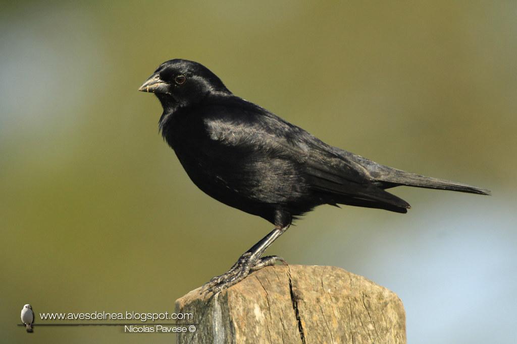 Chopí (Chopi Blackbird) Gnorimopsar chopi