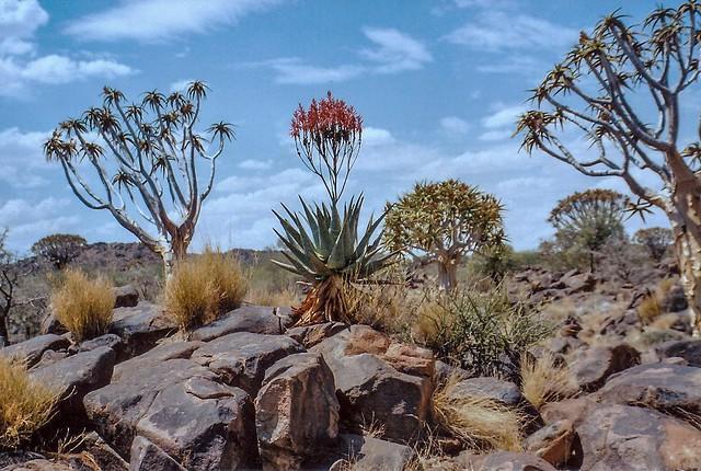 Köcherbäume (Aloe dichotoma) bei Keetmanshoop