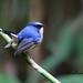 จับแมลงหน้าดำคอขาว Slaty-blue Flycatcher by somchai@2008