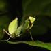 Giant Asian Mantis Nymph (Hierodula sp., Mantidae) by John Horstman (itchydogimages, SINOBUG)