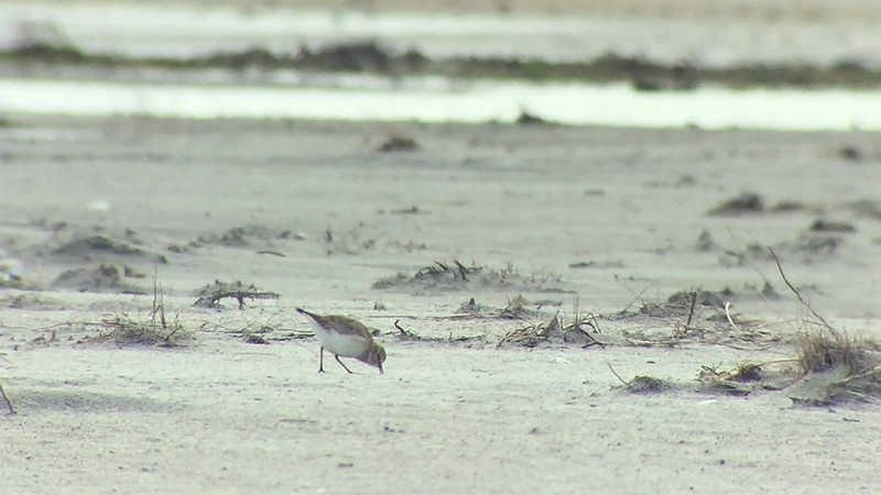 Mountain Plover-Carteret Co, NC - 2/1/2016