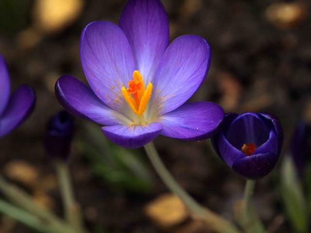 Feb 2016 Spring flowers 166