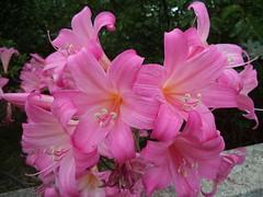 Adelaide. Deep pink Easter Lillies or Belladonnas.
