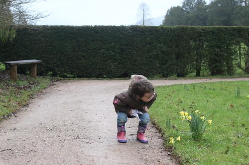 Powis Castle daffodils