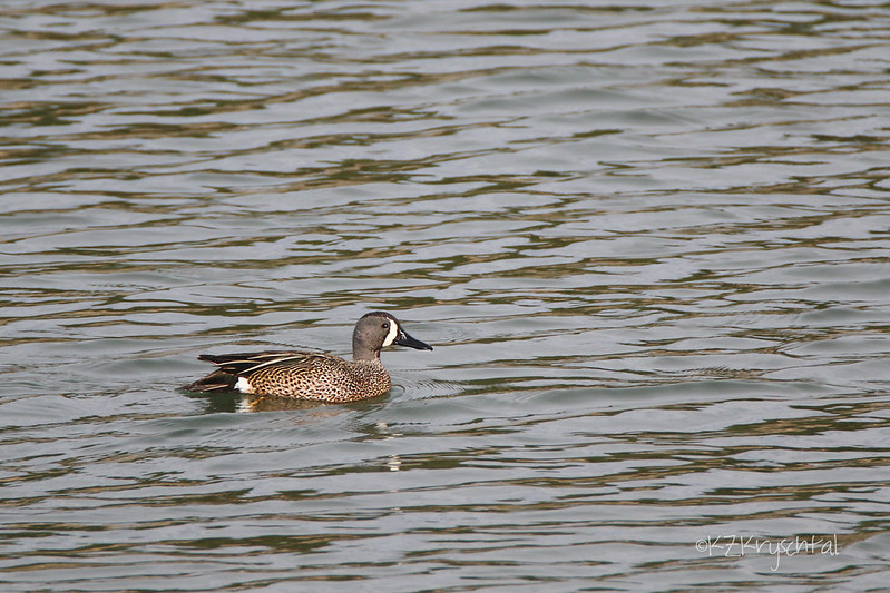 IMG_9758BlueWingedTeal