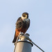 Bat Falcon [Falco rufigularis] por EdBoyd1959
