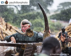 #Repost @paulhiltonphoto・・・The LIVESTREAM LINK FOR THE IVORY BURN IS ON @kenyawildlifeservice 's BIO Rhino horn being offloaded as part of the ivory burn, today, in Kenya. I fully support @wcs, @spaceforgiants and @kenyawildlifeservice, because Elephants
