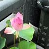 烟雨清明思故人  #lotusflower #qingmingfestival #remembrance #igsg #sg