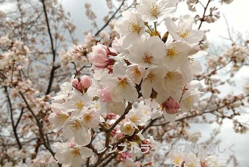 お弁当週報vol.26、桜