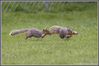 Hover Pack Rat v Super Squirrel | by gabebalazs